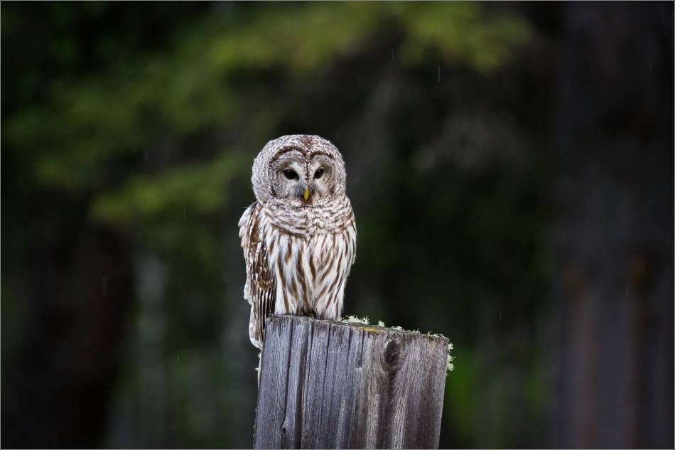 Bragg Creek Barred Owl - © Christopher Martin-0948