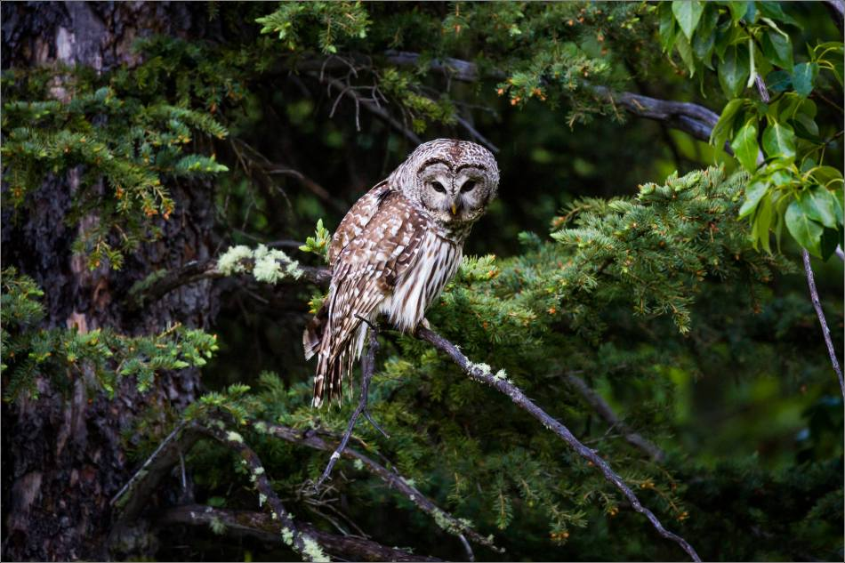 Bragg Creek Barred Owl - © Christopher Martin-0959