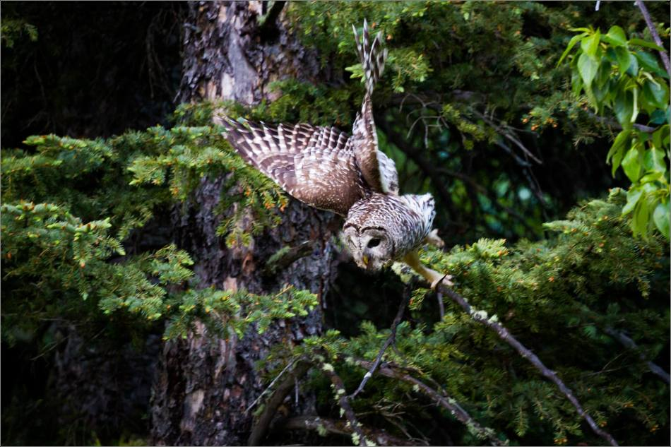 Bragg Creek Barred Owl - © Christopher Martin-0970-2