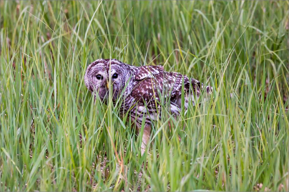 Bragg Creek Barred Owl - © Christopher Martin-0987