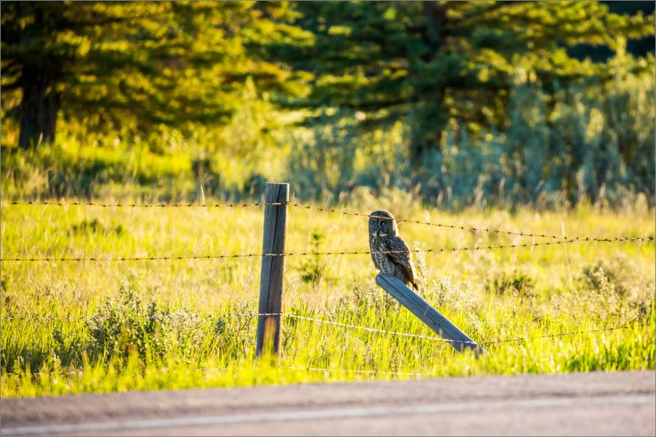 Great gray owl in Redwood Meadows - © Christopher Martin-3714