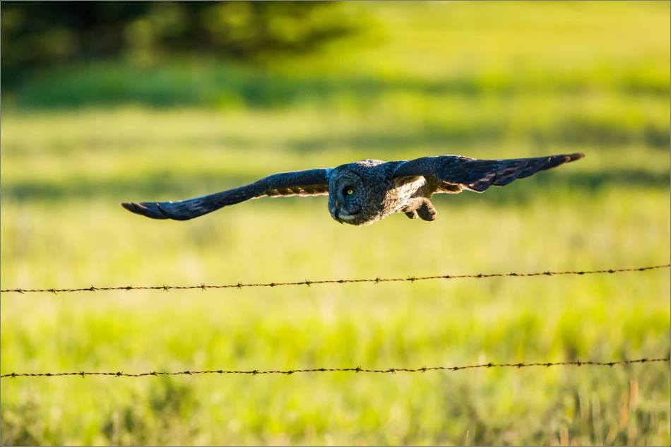 Great gray owl in Redwood Meadows - © Christopher Martin-3730