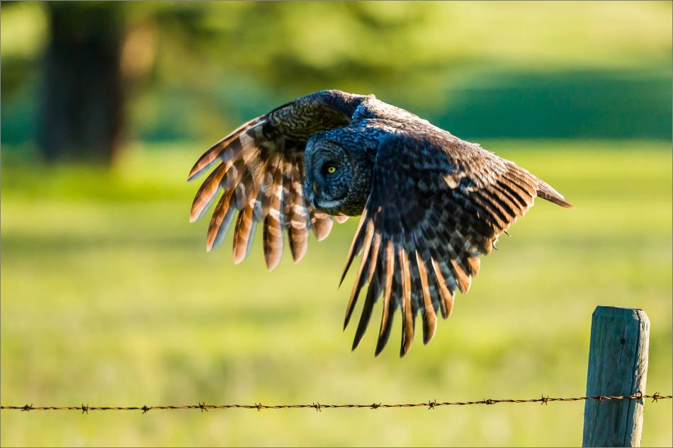 Great gray owl in Redwood Meadows - © Christopher Martin-3737-2