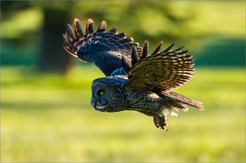 Great gray owl in Redwood Meadows - © Christopher Martin-3738
