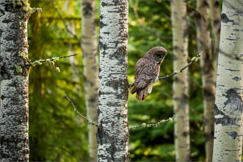 Great gray owl's forest hunt - © Christopher Martin-2966