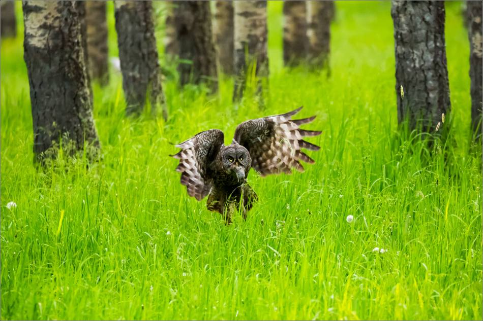 Great gray owl's forest hunt - © Christopher Martin-2969-4
