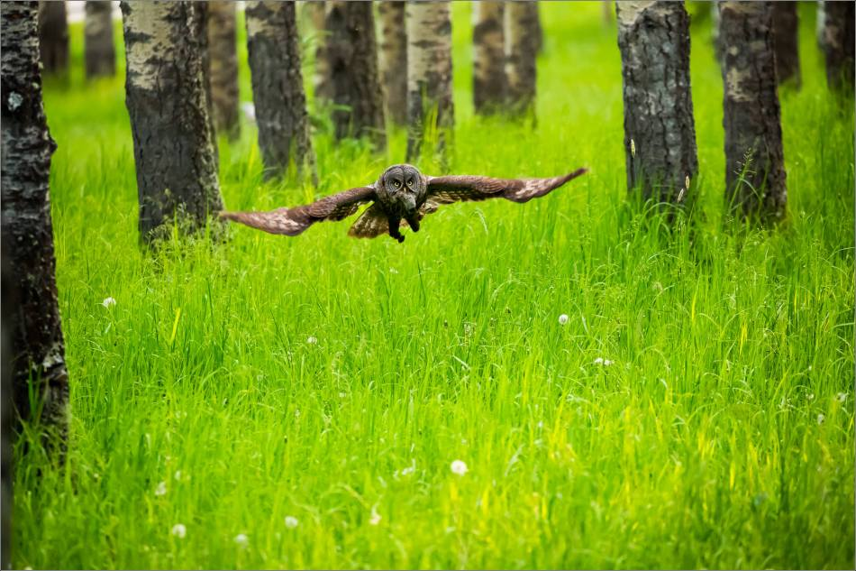Great gray owl's forest hunt - © Christopher Martin-2970