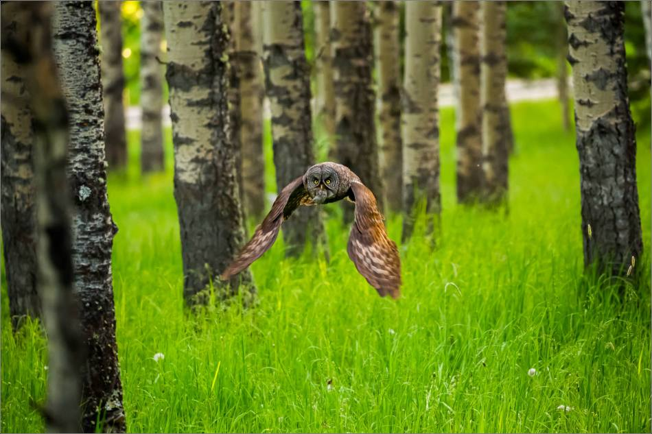 Great gray owl's forest hunt - © Christopher Martin-2971