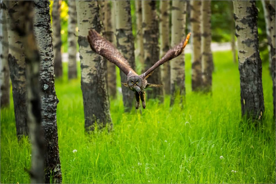 Great gray owl's forest hunt - © Christopher Martin-2972