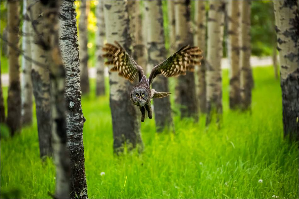 Great gray owl's forest hunt - © Christopher Martin-2975