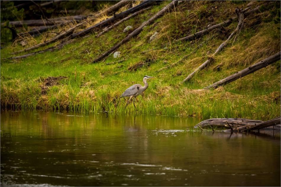 Yellowstone Great blue heron - © Christopher Martin-9123