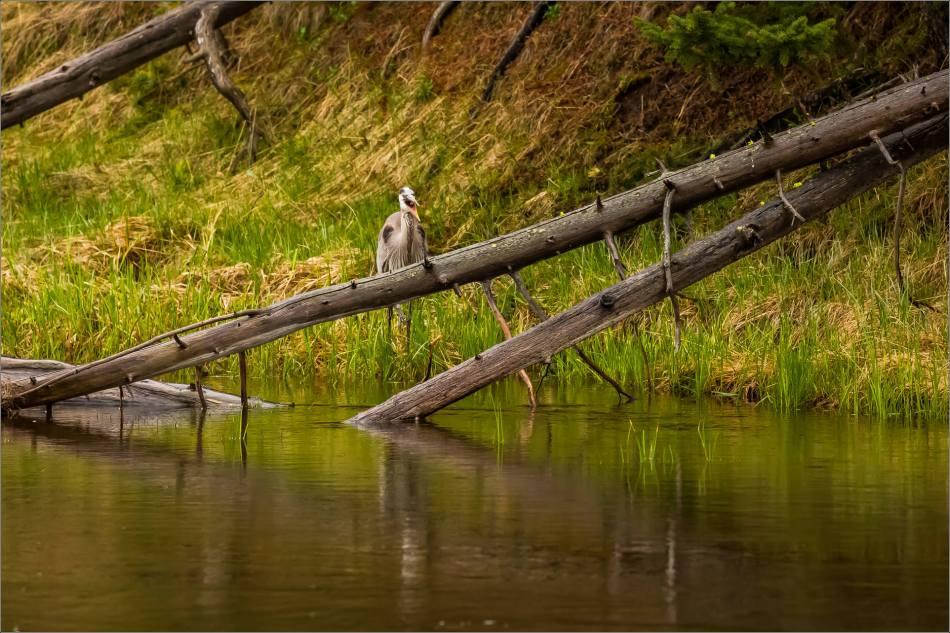 Yellowstone Great blue heron - © Christopher Martin-9132