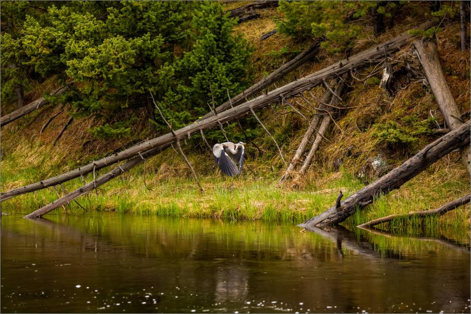 Yellowstone Great blue heron - © Christopher Martin-9143