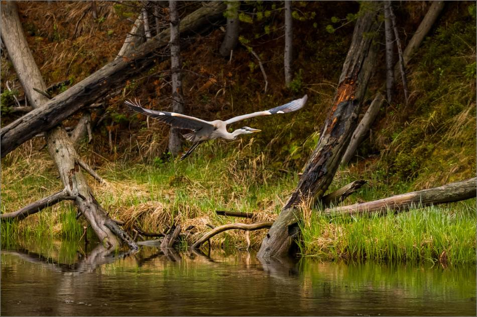 Yellowstone Great blue heron - © Christopher Martin-9147-2