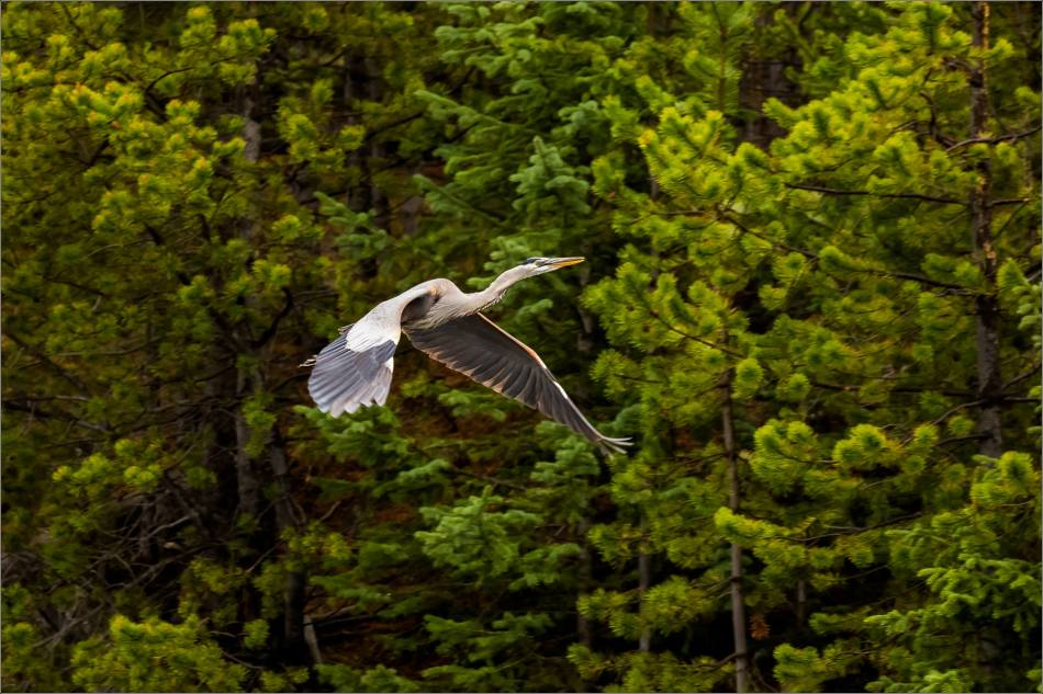 Yellowstone Great blue heron - © Christopher Martin-9150