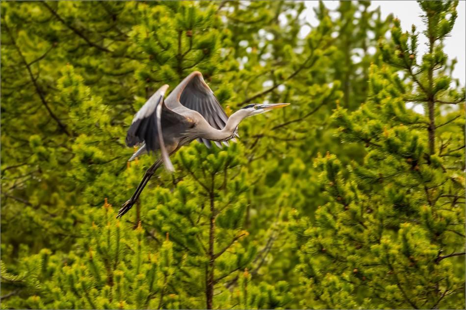 Yellowstone Great blue heron - © Christopher Martin-9153