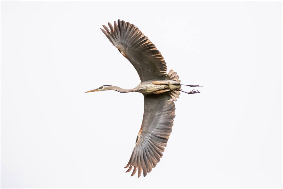 Yellowstone Great blue heron - © Christopher Martin-9157