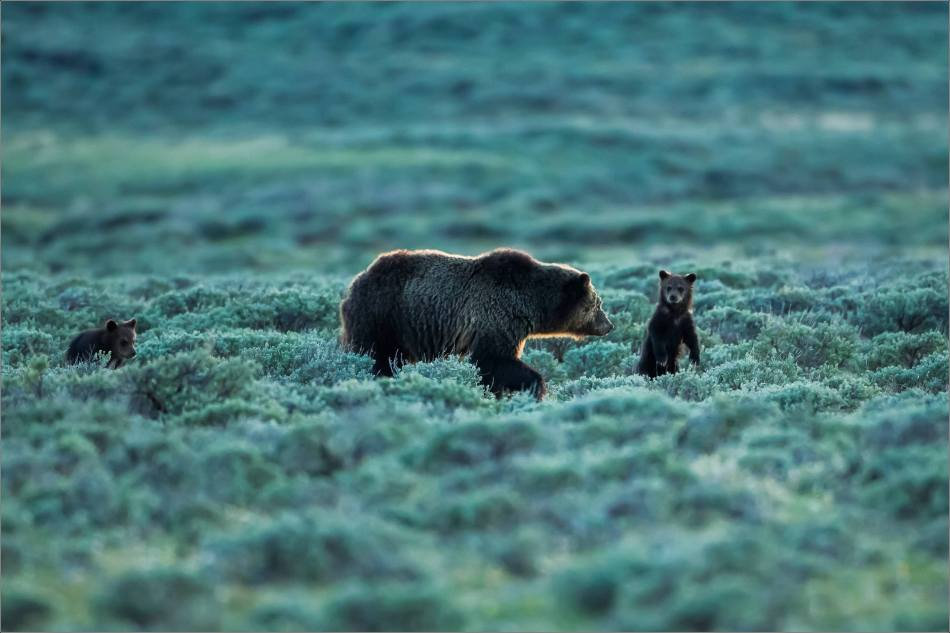 Yellowstone Grizzly bear mom and cubs at dusk - © Christopher Martin-9348-3