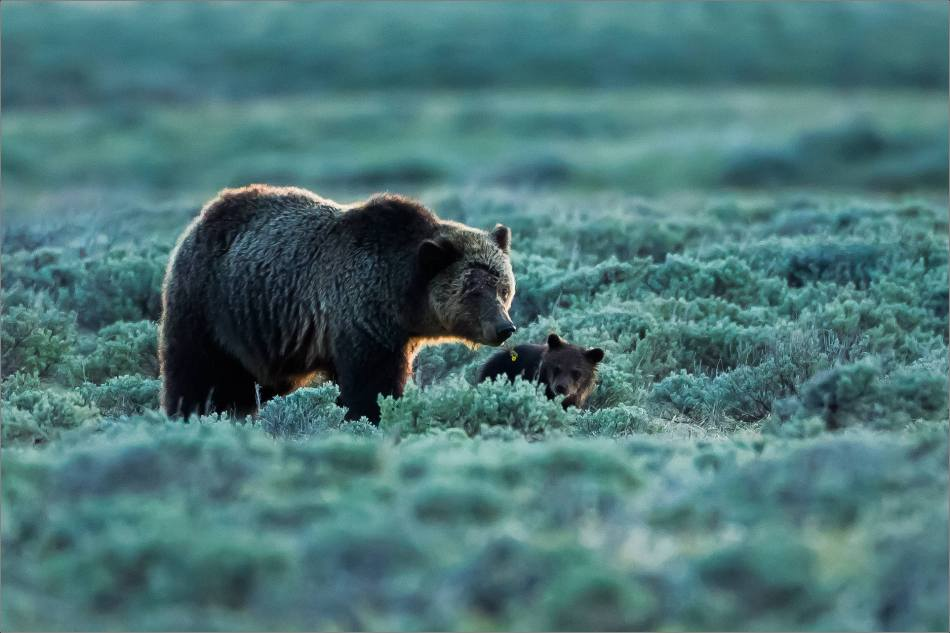 Yellowstone Grizzly bear mom and cubs at dusk - © Christopher Martin-9352