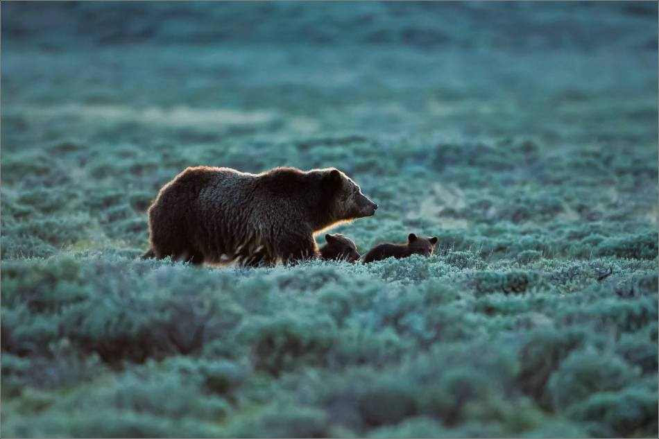 Yellowstone Grizzly bear mom and cubs at dusk - © Christopher Martin-9360