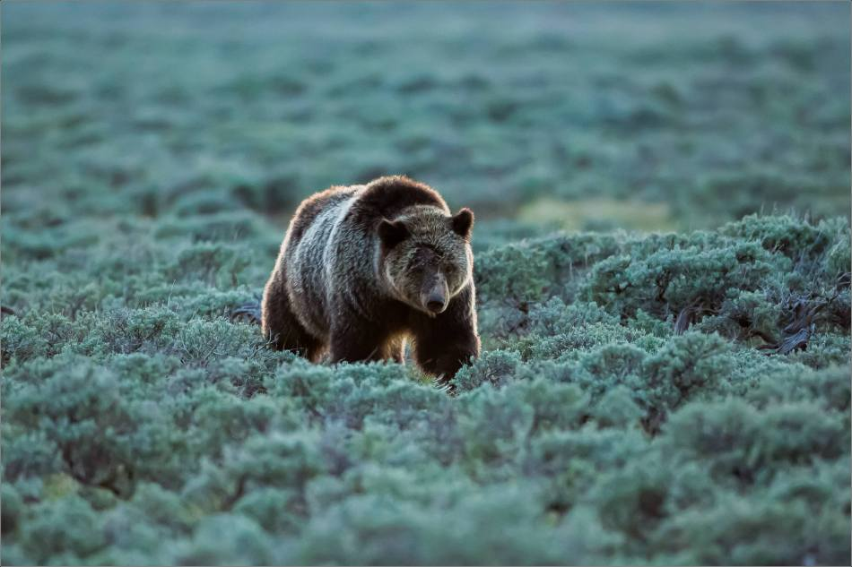 Yellowstone Grizzly bear mom and cubs at dusk - © Christopher Martin-9395