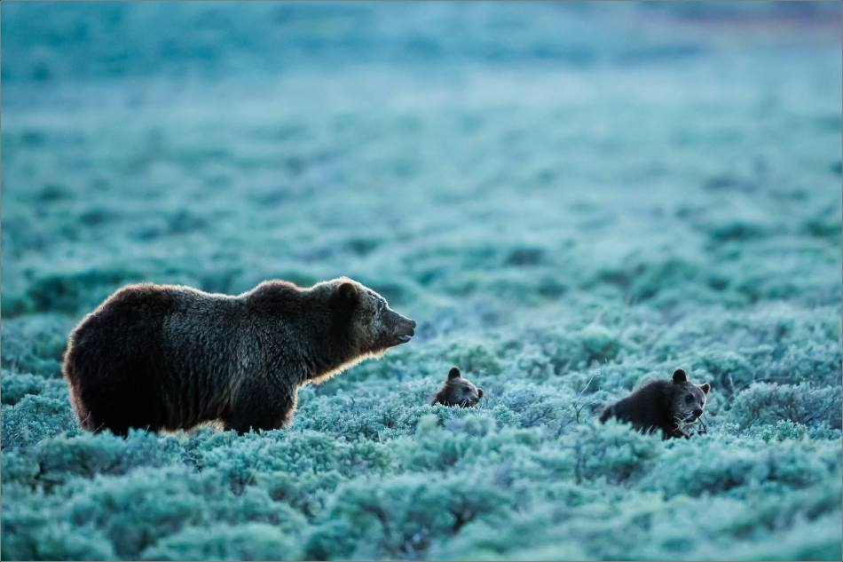 Yellowstone Grizzly bear mom and cubs at dusk - © Christopher Martin-9423