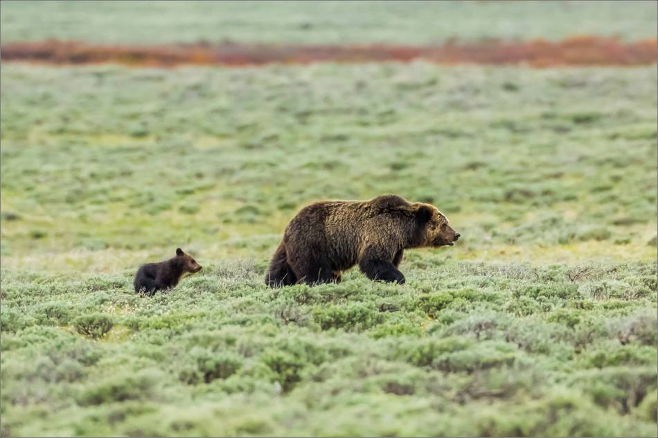 Yellowstone Grizzly bear mom and cubs - © Christopher Martin-7922