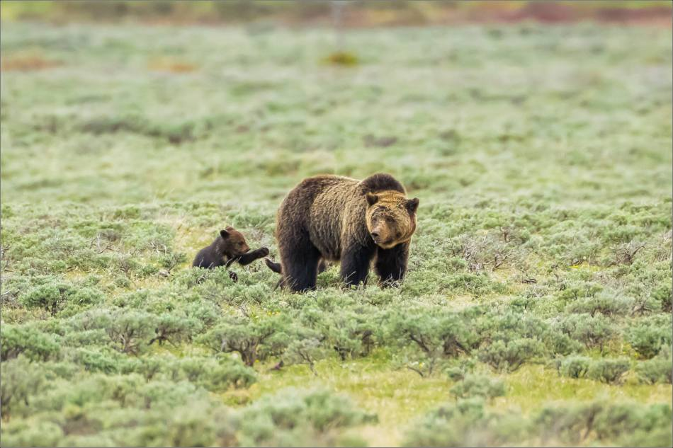 Yellowstone Grizzly bear mom and cubs - © Christopher Martin-8030
