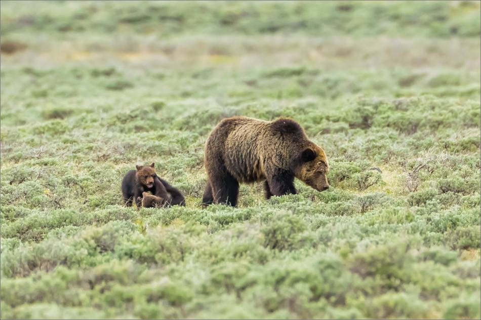 Yellowstone Grizzly bear mom and cubs - © Christopher Martin-8045