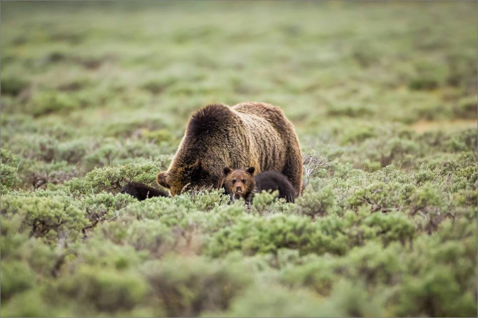 Yellowstone Grizzly bear mom and cubs - © Christopher Martin-8126