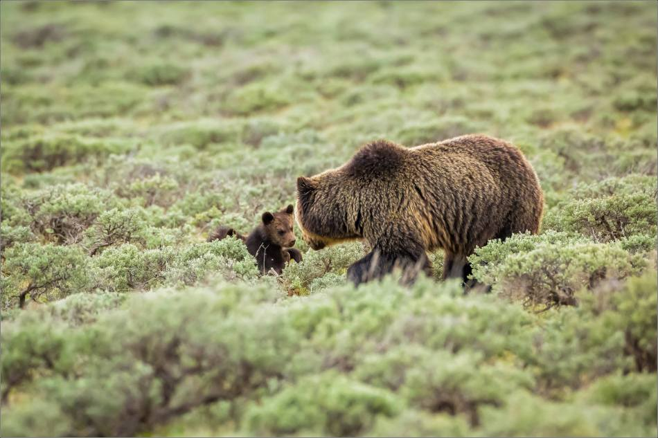 Yellowstone Grizzly bear mom and cubs - © Christopher Martin-8154