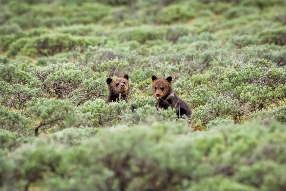 Yellowstone Grizzly bear mom and cubs - © Christopher Martin-8173