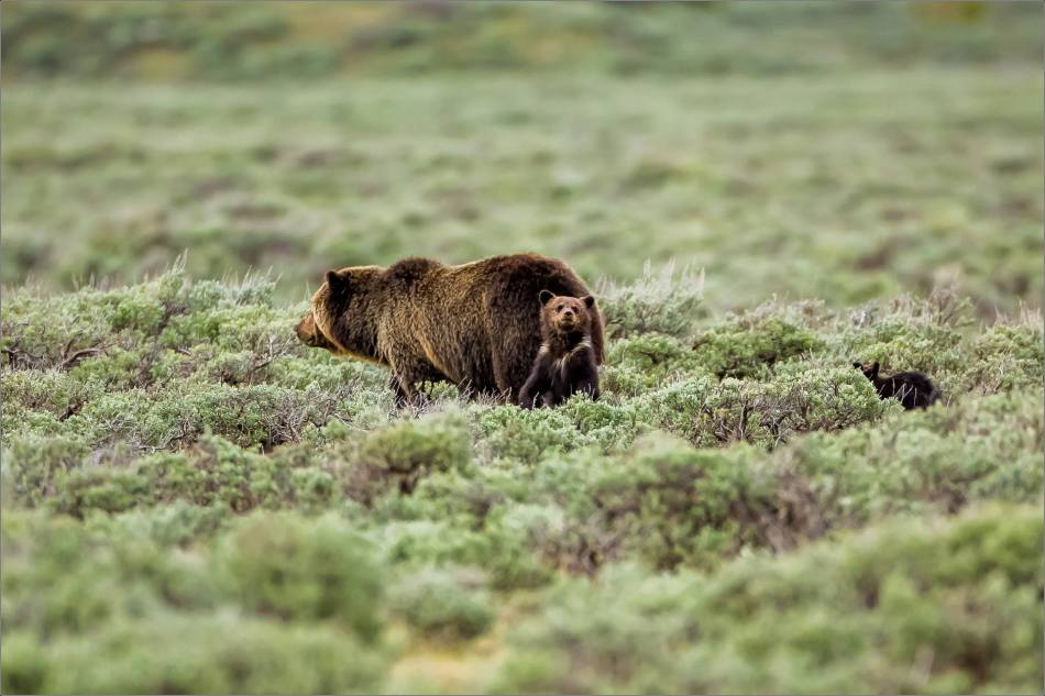 Yellowstone Grizzly bear mom and cubs - © Christopher Martin-8214