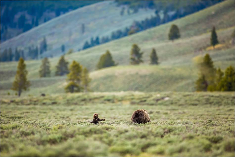 Yellowstone Grizzly bear mom and cubs - © Christopher Martin-8249