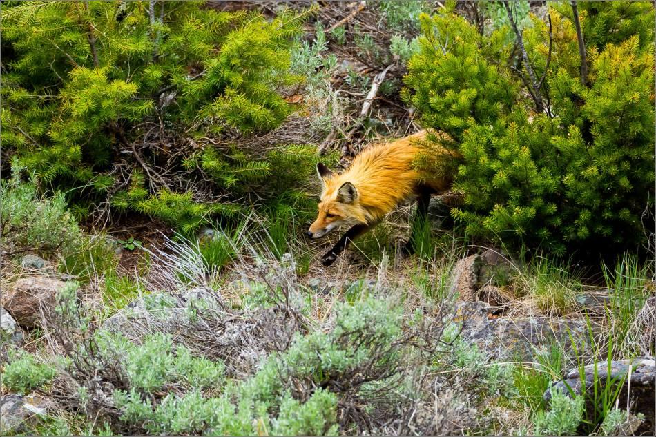 Yellowstone Red Fox - © Christopher Martin-0006