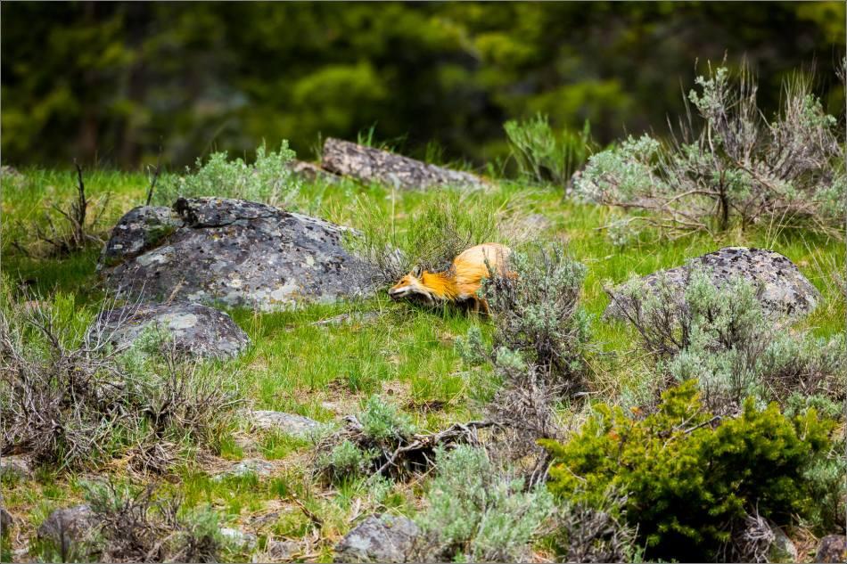 Yellowstone Red Fox - © Christopher Martin-0032