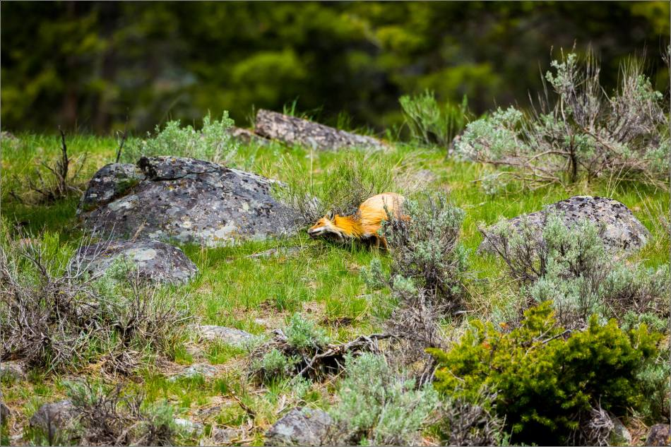 Yellowstone Red Fox - © Christopher Martin-0032