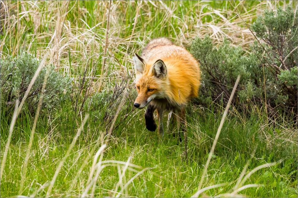 Yellowstone Red Fox - © Christopher Martin-9801