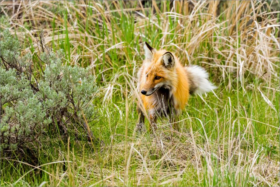Yellowstone Red Fox - © Christopher Martin-9846
