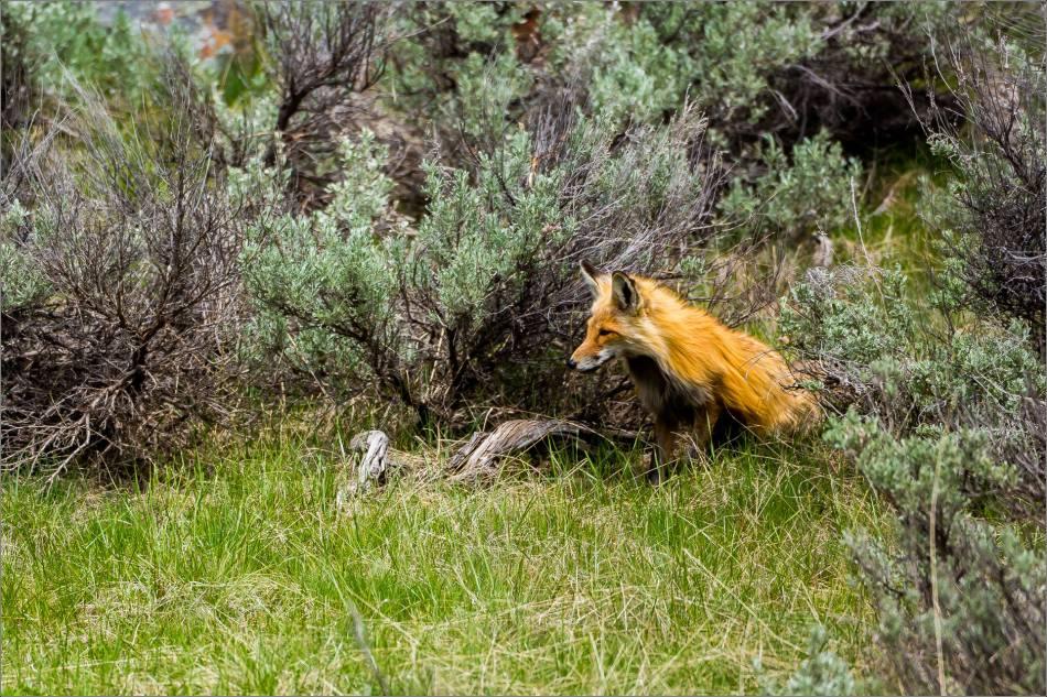Yellowstone Red Fox - © Christopher Martin-9959