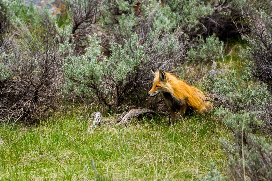 Yellowstone Red Fox - © Christopher Martin-9959