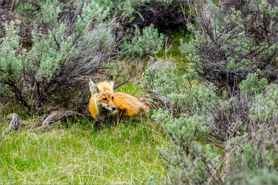Yellowstone Red Fox - © Christopher Martin-9975