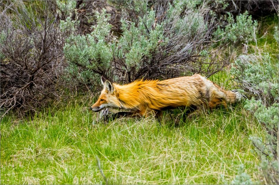 Yellowstone Red Fox - © Christopher Martin-9986