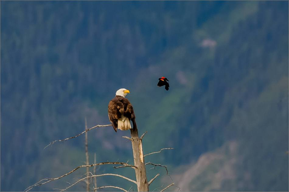 Eagle and Blackbird in Banff - © Christopher Martin-5036