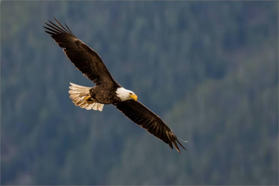 Eagle fishing in Banff - © Christopher Martin-5077