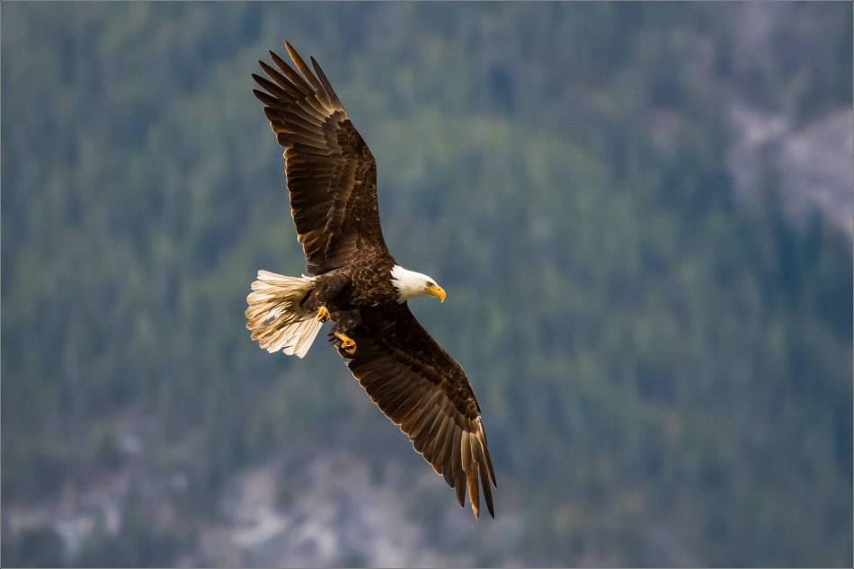 Eagle fishing in Banff - © Christopher Martin-5078