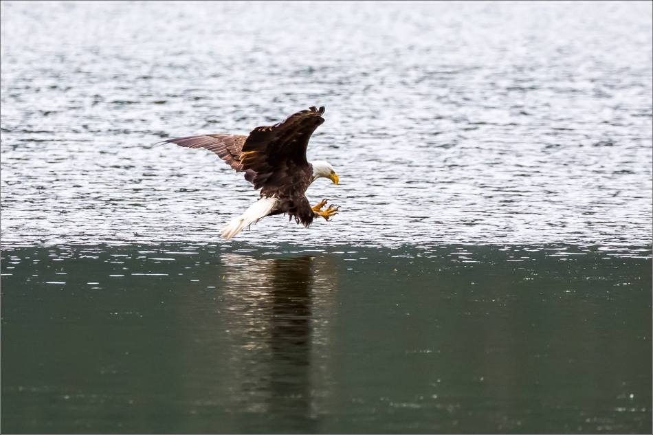 Eagle fishing in Banff - © Christopher Martin-5085