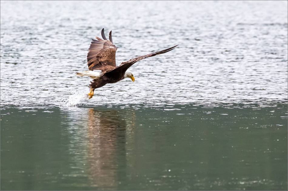 Eagle fishing in Banff - © Christopher Martin-5086