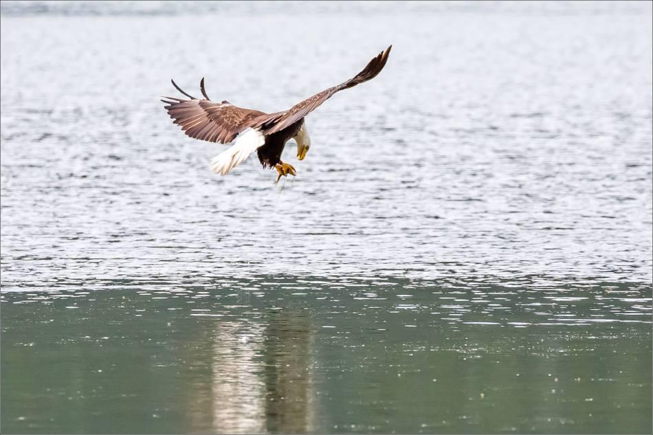 Eagle fishing in Banff - © Christopher Martin-5089