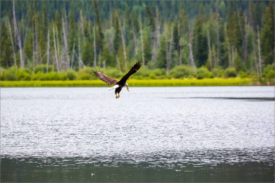 Eagle fishing in Banff - © Christopher Martin-5093